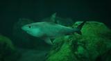 Rekin Tygrysi (V)