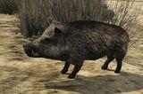 Dzika świnia (V)