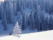 Sněžné stromy