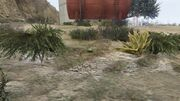 PeyotePlants-GTAO-Location32