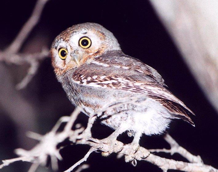 Elf Owl Size