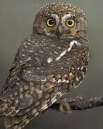 Elf owl 1943