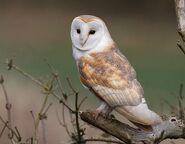 Barn owl 0542
