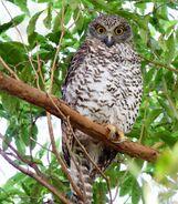 Powerful owl 0548
