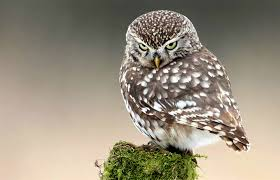 File:Littleowl4.jpg