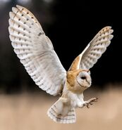 Barn owl 0543
