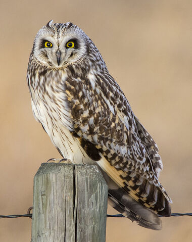 File:Possible-male-short-eared-owl.jpg