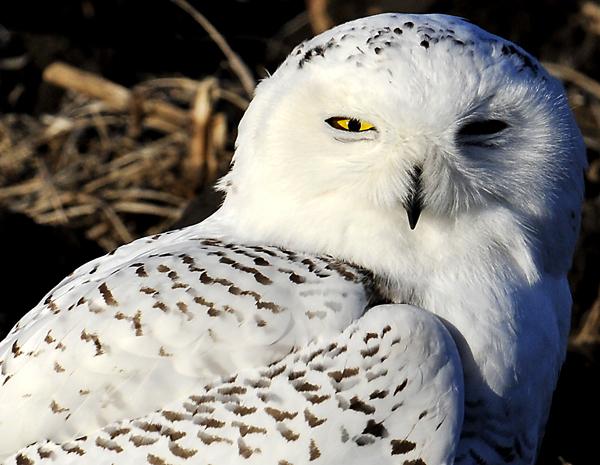 File:Snowy-Owl-cropped-600-Fremont-NE-13-Jan-2012.jpg