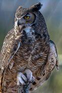 Great horned owl 0539