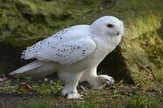 Snowy owl 0540