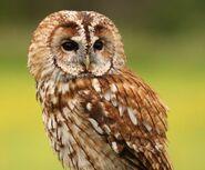 Tawny owl 0551