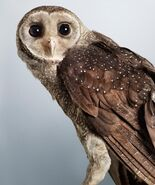 Greater sooty owl 0546