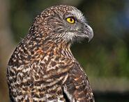 Powerful owl 0547