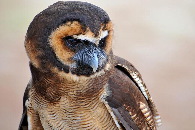 File:Asian-brown-wood-owl-alan-lenk.jpg