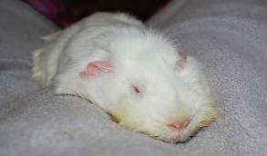 Lethal white guinea pig