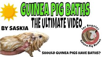 Ultimate Guinea Pig Bath Video. How to Bathe a Guinea Pig