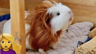Guinea Pig Gets a Haircut