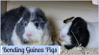 Bonding Guinea Pigs How to Introduce Them