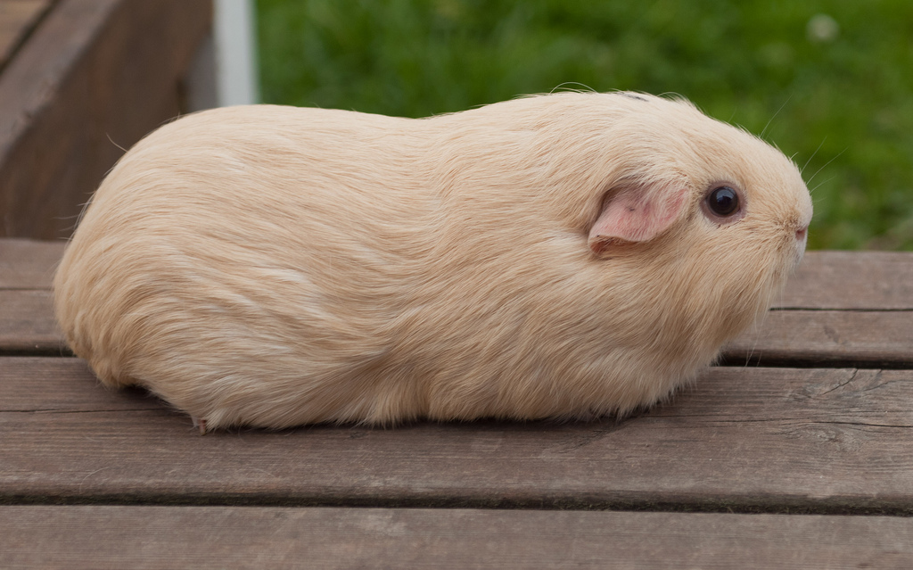 List of Coat Colors and Patterns | Guinea Pig Wikia | Fandom