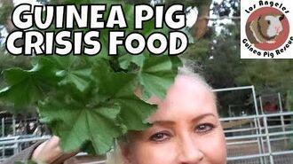 Guinea Pig Crisis Food!