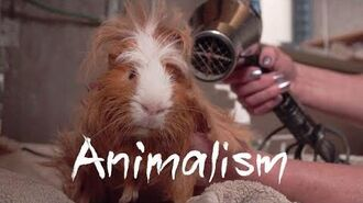 The Largest Guinea Pig Rescue In the World Animalism