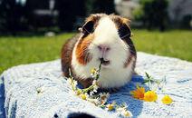 Cute-eating-guinea-pig-longer