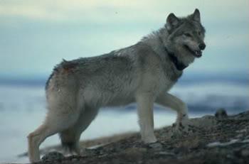 File:0402wolf06-1.jpg