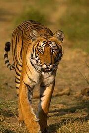 Tigress at Jim Corbett National Park