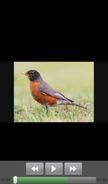 Robin (bird) - Warriors Orochi 4 - The Curse of the Demon Snake