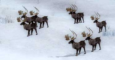 Caribou herd drakkar lake