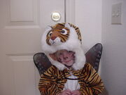 Tigerfairy