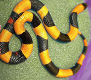 Snake halloween