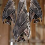 Cocoon Bat