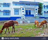Goats-graze-in-front-of-the-haitian-national-police-station-in-ouanaminthe-BMK0FG