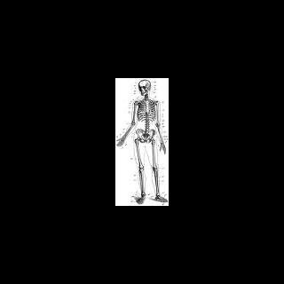 Skelett des Menschen