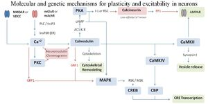 Molecular and Genetic Mechanisms for Canonical Neuronal Plasticity by KML