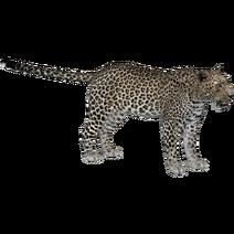 Arabian Leopard (Whalebite)