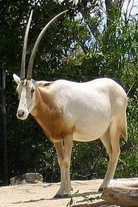 230px-Oryx Dammah