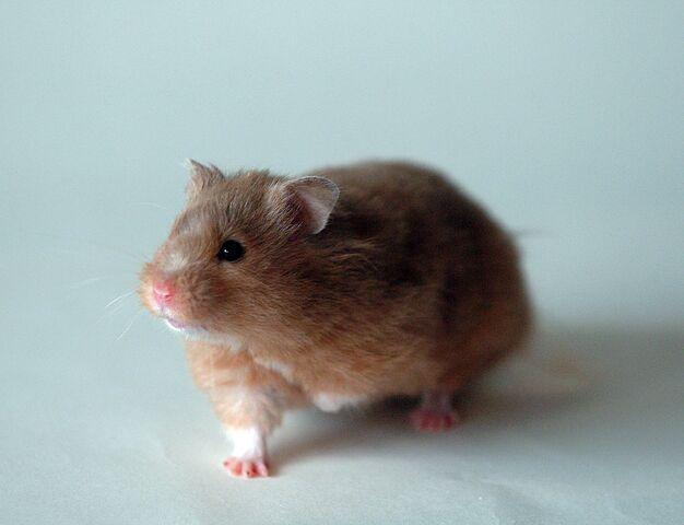 File:Golden hamster front 1.jpg