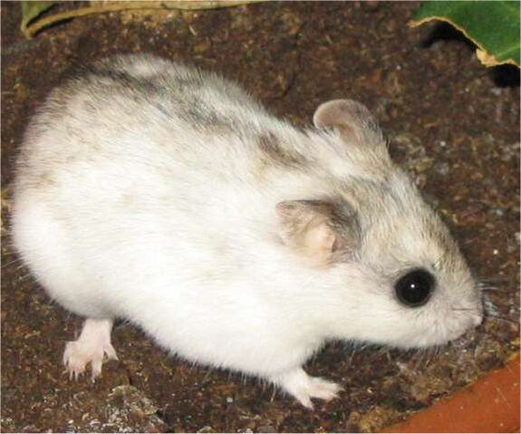 File:Chinese Hamster.jpg