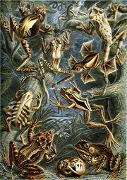 Haeckel Batrachia