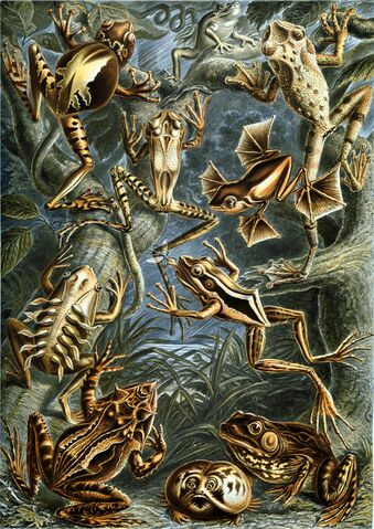 File:Haeckel Batrachia.jpg