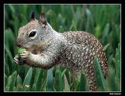 Una Joya de Ardilla ... - Squirrel in La Jolla