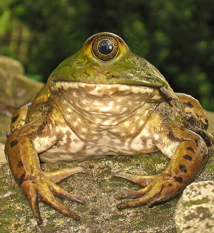 File:Cyclops Frog.jpg