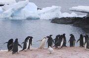 Penguins on Gourdin Island
