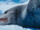 Leopardy the Leopard Seal