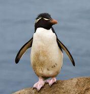 Gorfou sauteur - Rockhopper Penguin