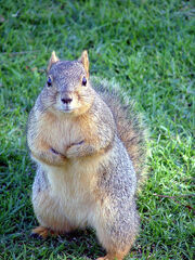 Not a Grey Squirrel..lol, or English..come to that..-O)