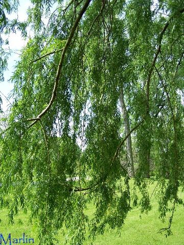 File:Golden weeping willow foliage1.jpg