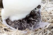 Albatross chick at Northwest Hawaiian Islands National Monument, Midway Atoll, 2007March01